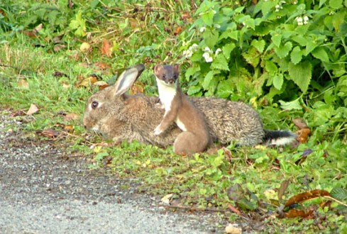 Stoat with a meal....errr...a rabbit.