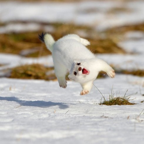 white-stoat_2149375i